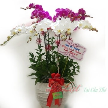 Hoa lan tím và trắng
